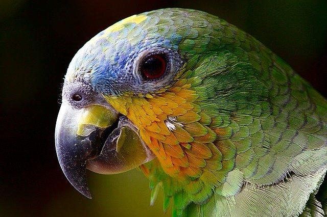 pokarm dla papug falistych
